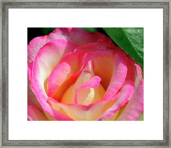 Pink And White Rose Framed Print