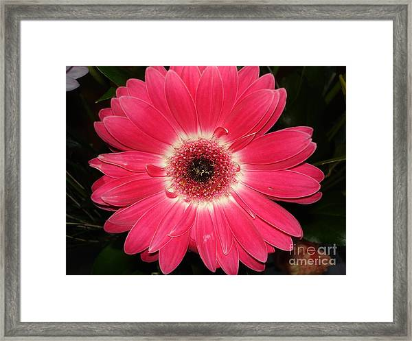 Pink Gerbera Daisy Framed Print