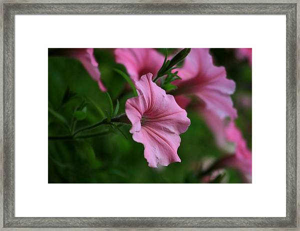Pink Ladies Framed Print by Valia Bradshaw