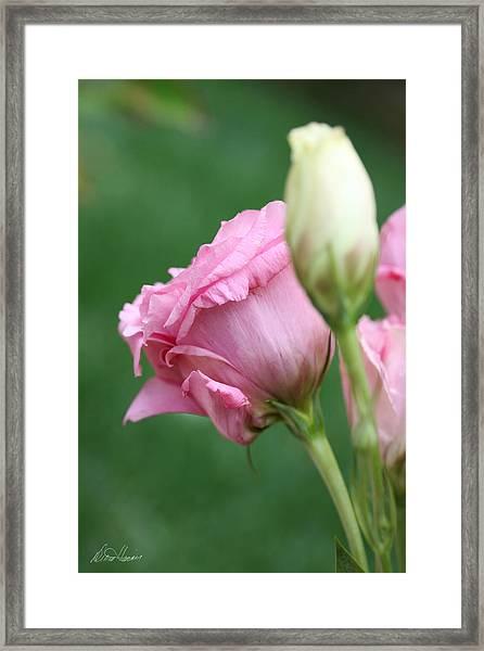 Pink Lisianthus Framed Print