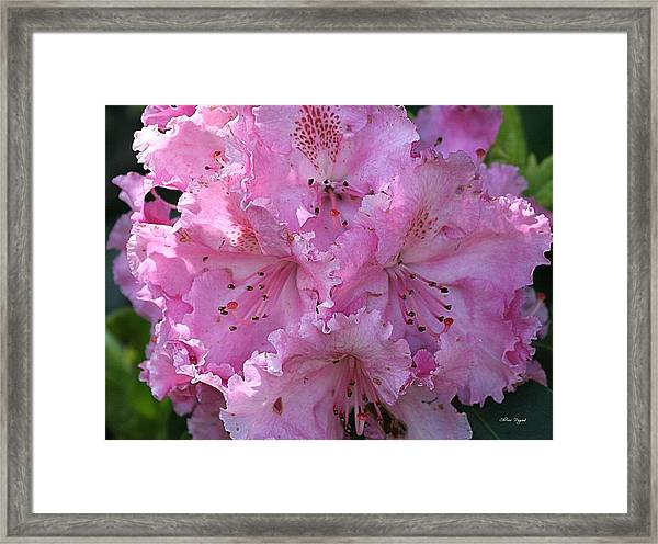 Pink Rhododendrons Framed Print