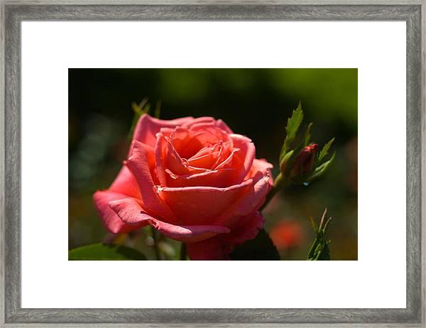 Pink Rose Framed Print by Benjamin Clark