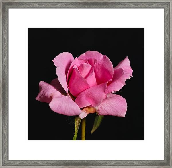 Pink Tea Rose Framed Print