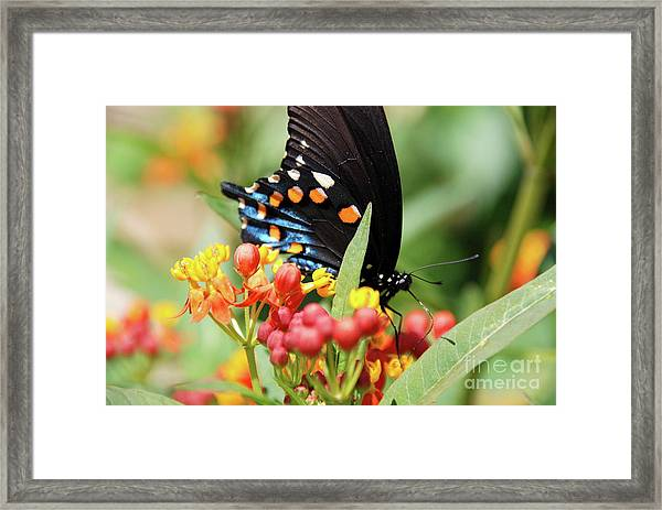 Pipevine Swallowtail Too Framed Print