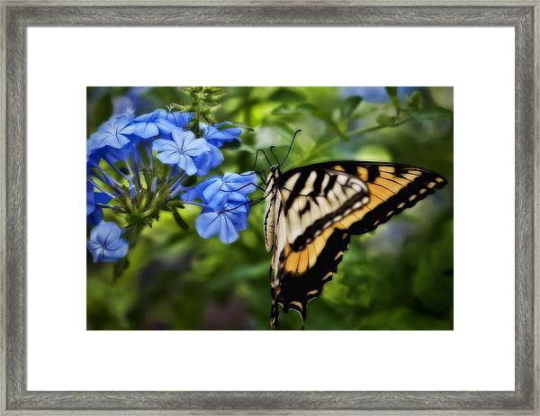 Plumbago And Swallowtail Framed Print