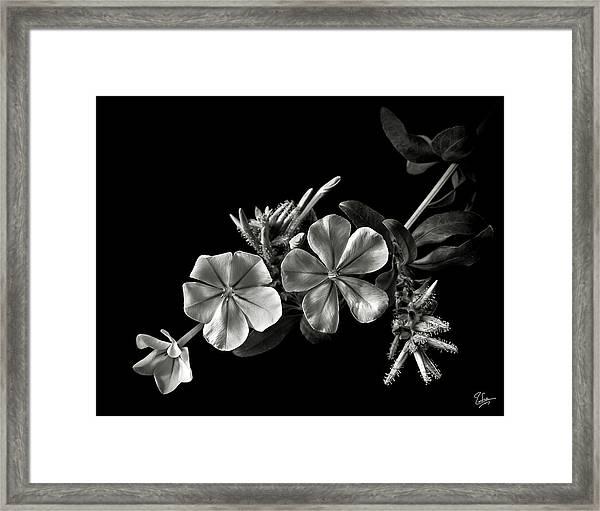 Plumbago In Black And White Framed Print