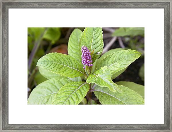 Pokeroot (phytolacca Americana) Framed Print