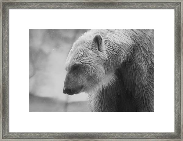 Polar Bear 7 Framed Print