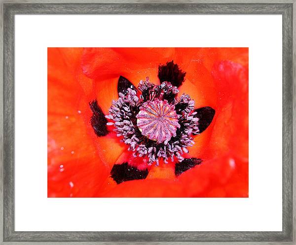 Poppy's Heart Framed Print