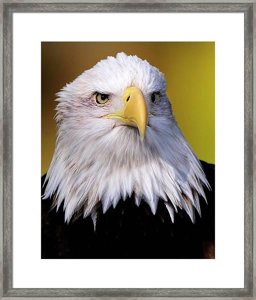 Portrait Of A Bald Eagle Framed Print