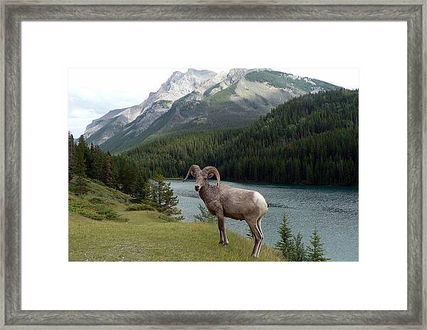 Portrait Of A Bighorn Sheep At Lake Minnewanka  Framed Print