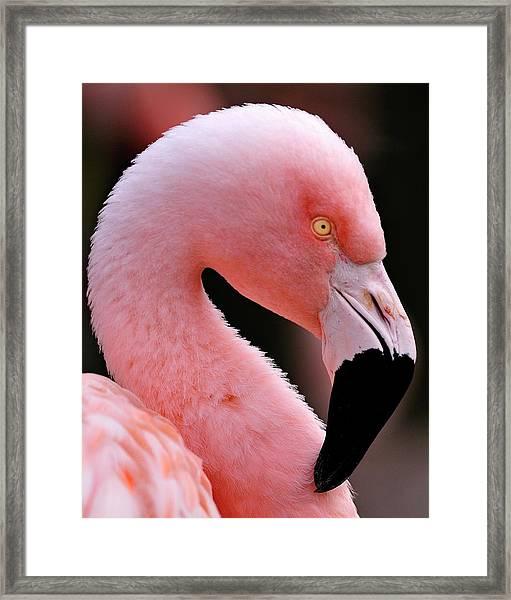 Portrait Of A Flamingo Framed Print