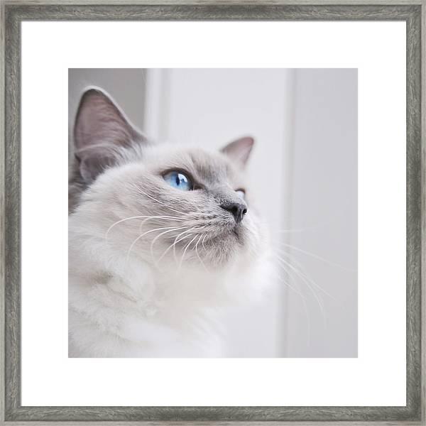 Portrait Of A Ragdoll Cat Framed Print