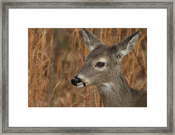 Portrait Of  Browsing Deer Framed Print