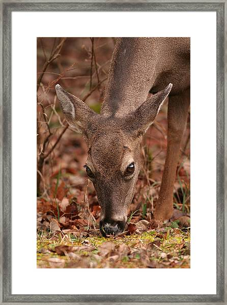 Portrait Of  Browsing Deer Two Framed Print