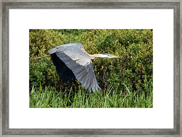 prehistoric looking Great Blue Heron Framed Print
