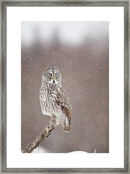 Profile Of A Great Gray Owl Framed Print by Tim Grams