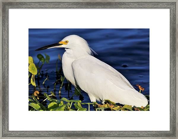 Profile Of A Snowy Egret Framed Print
