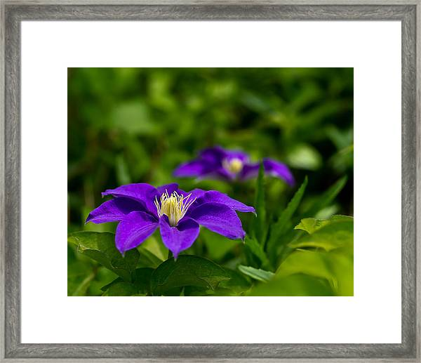 Purple Clematis Flower Framed Print