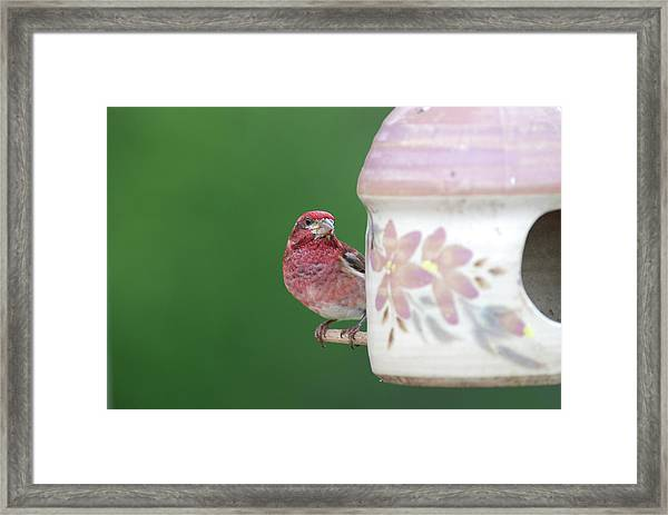 Purple Finch At Feeder Framed Print