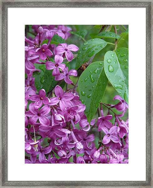 Purple Lilac Framed Print