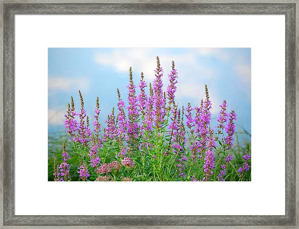 Purple Loosestrife II Framed Print