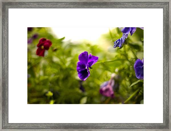 Purple Pansy Framed Print by Benjamin Clark