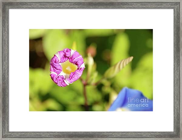 Purple Star Framed Print