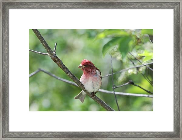 Purrple Finch Pose Framed Print