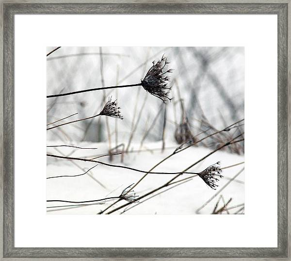 Queen Ann's Lace Framed Print
