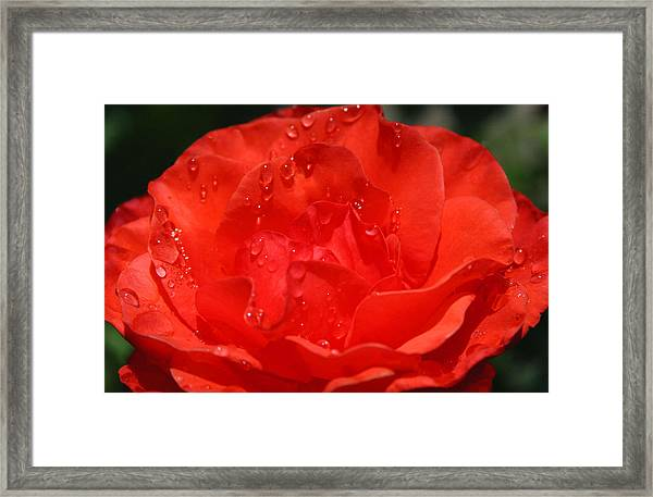 Rain Drop Rose Framed Print by Tony and Kristi Middleton