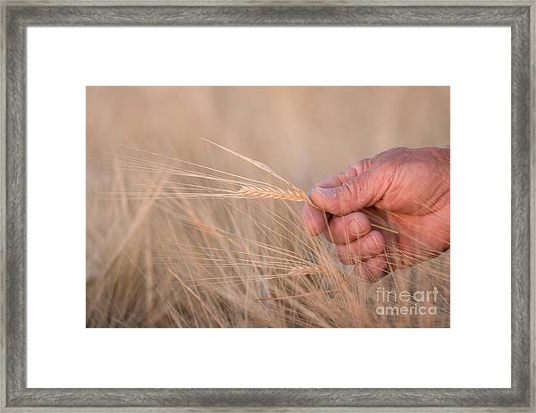 Ready To Harvest Framed Print