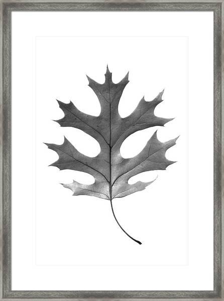 Red Oak Leaf Framed Print