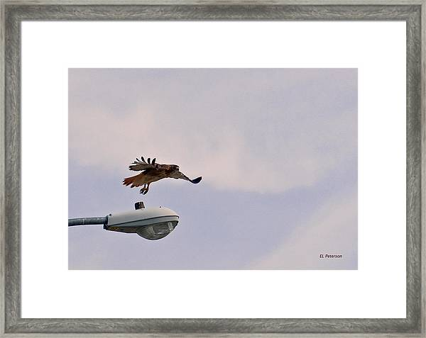Red-tailed Hawk In Flight Framed Print