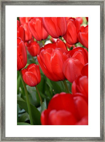 Red Tulips Close Up Framed Print