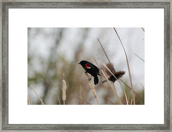 Red Winged Black Bird Framed Print