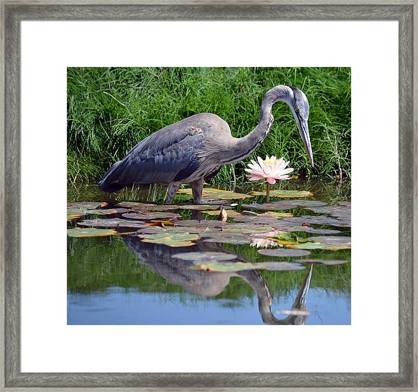 Reflections At Lilly Pond Framed Print