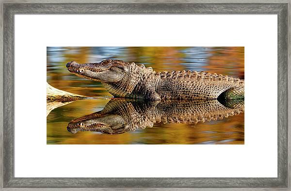 Relection Of An Alligator Framed Print