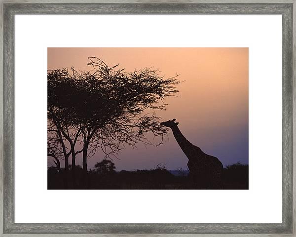 Reticulated Giraffe Framed Print