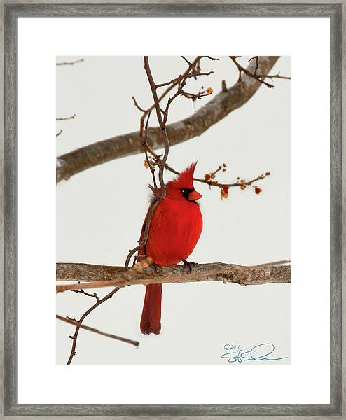 Righteous Cardinal Framed Print