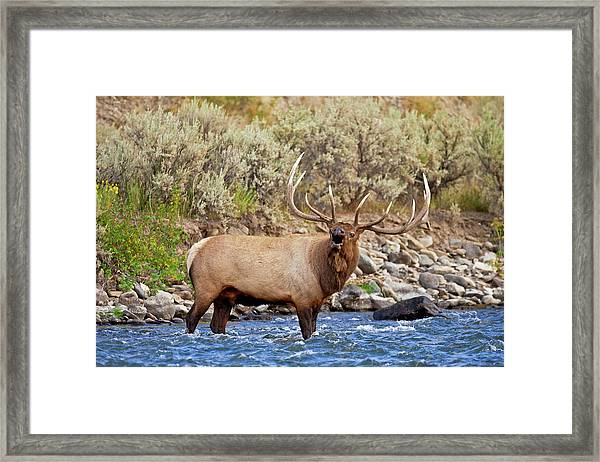 River Bull Framed Print