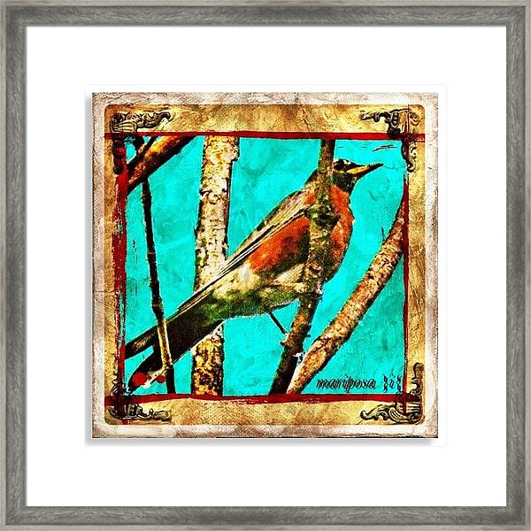 Robin Perch  Framed Print