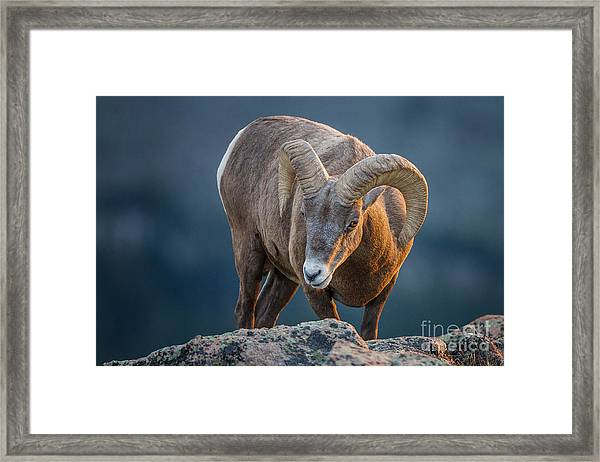 Rocky Mountain Big Horn Ram Framed Print
