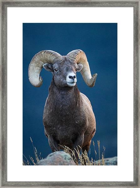 Rocky Mountain Big Horn Framed Print