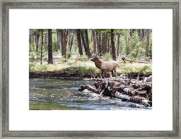 Rocky Mountain Elk Framed Print