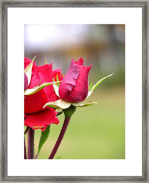 Framed Print featuring the photograph rosa 'Proud Mary' 2964 by Brian Gryphon