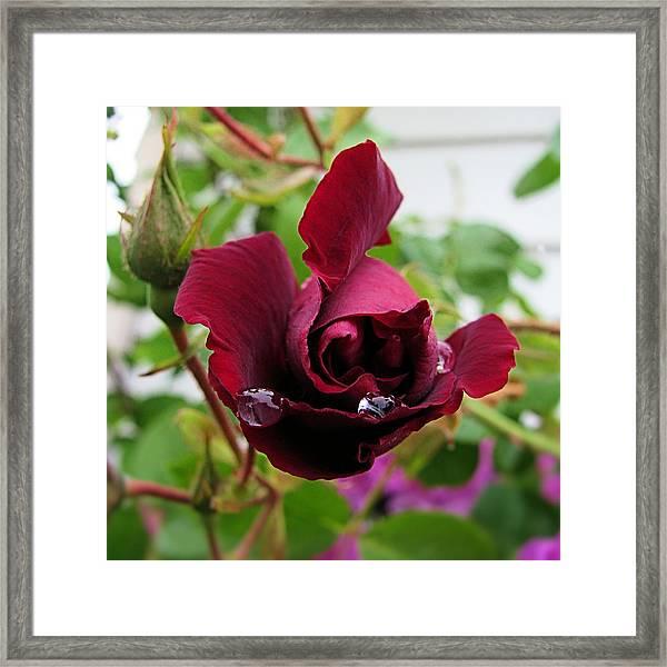Rose 4x4 Framed Print