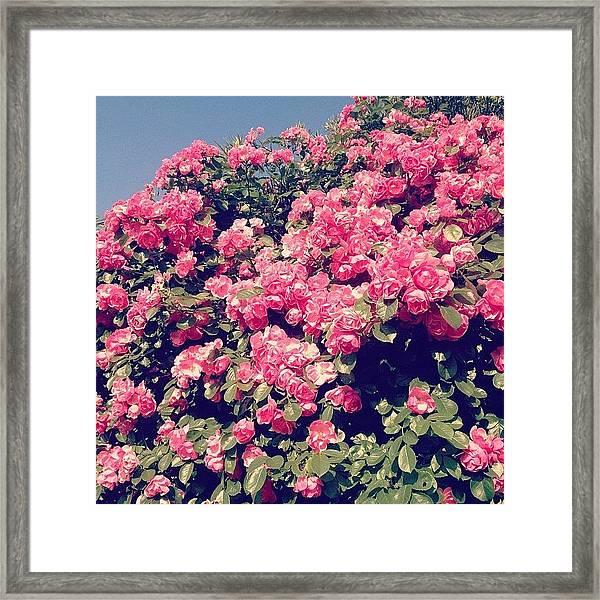 Rose Pink Framed Print