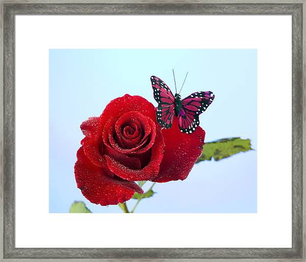 Rose Red Butterfly Isolated On Blue Framed Print