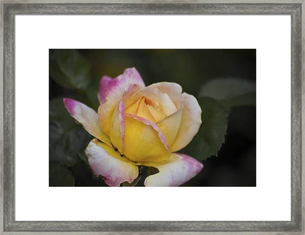 Rose With Pink Tips Framed Print